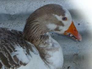 Mari the goose, August 2011