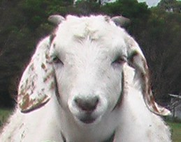 Totem, one of the goats at Ballyoncree