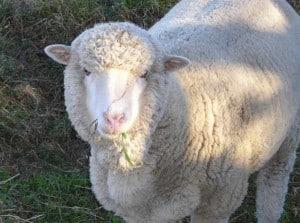 Sarah the sheep