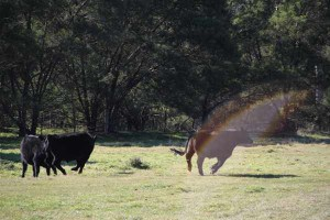 Cows and Etheric Light