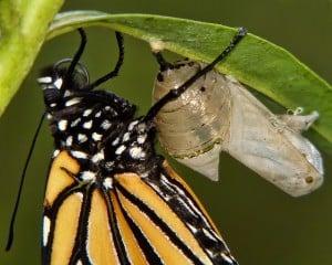 Butterfly Emergin